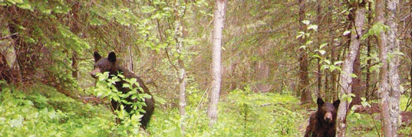 Bears seen within the mature forest on route to the tailings pond at Gibraltar Mine.