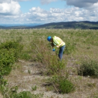 The Xat'sull First Nations Reclamation crew taking vegetation clippings for metal analysis at Taseko's Gibraltar Mine